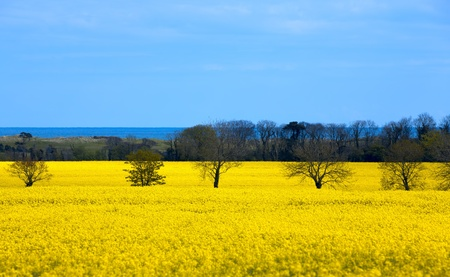 Field of bright yellow rapeseed on the coast of the ocean photo