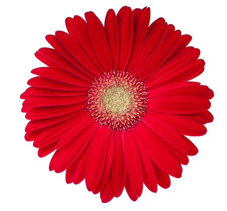 Beautiful gerbera flower isolated on white photo