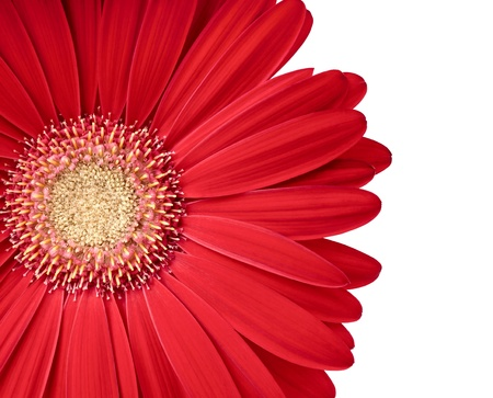 Beautiful gerbera flower isolated on white  Copy space for your text photo