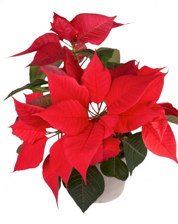 Red christmas flower poinsettia isolated white background  Stock Photo