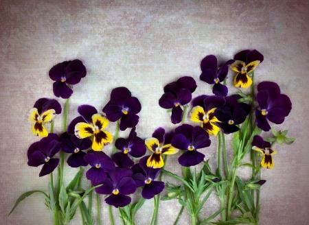 Violet pansies on vintage background Stock Photo - 15564639