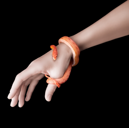 Corn snake wraped around a woman hand isolated on black photo