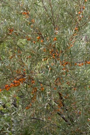 argousier: Arbuste de argousier Banque d'images