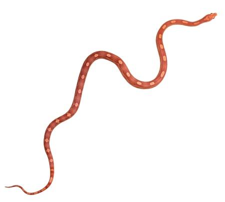 Full length of amel motley corn snake isolated on white background Stock Photo