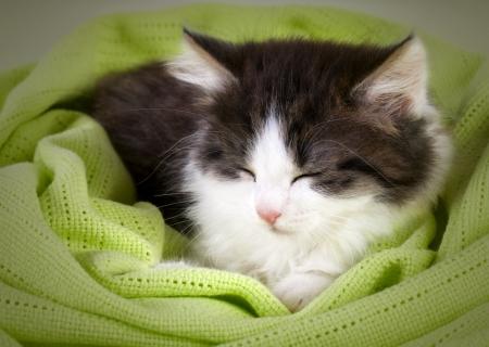Cute kitten sleeping in green  blanket Stock Photo