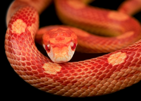 Close up of corn snake  photo