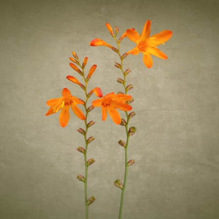 Crocosmia flowers on vintage background photo