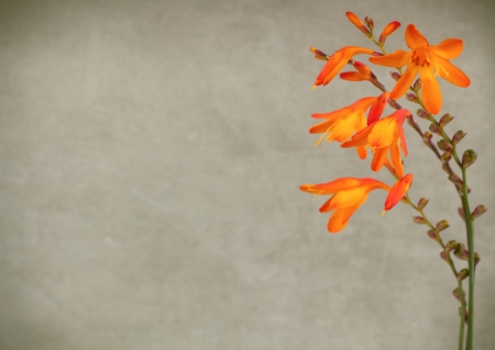 Wilde crocosmia Blumen auf Vintage-Hintergrund Lizenzfreie Bilder