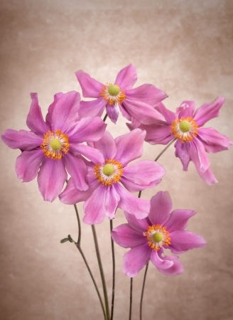 Anemone flowers on vintage background Stock Photo - 15564366