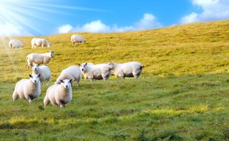 prato montagna: Gregge di pecore sul prato di montagna Archivio Fotografico