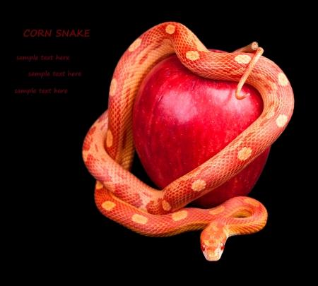 Snake um einen Apfel gewickelt isoliert auf schwarzem Hintergrund