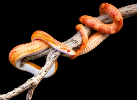 orange snake:  Corn snake wraped around an old branch isolated on black Stock Photo