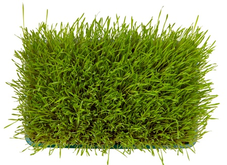 Top view of fresh green wheatgrass  isolated on white  photo