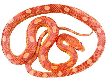 Eine Schlange auf weißem Hintergrund Standard-Bild