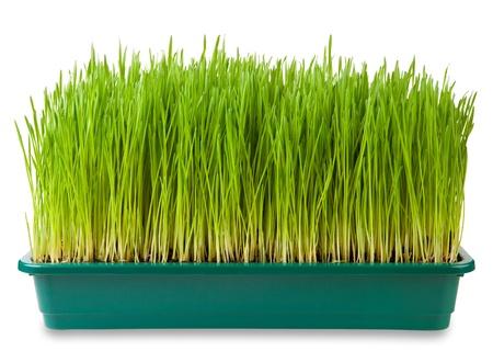 Fresh green wheatgrass  isolated on white  Stock Photo
