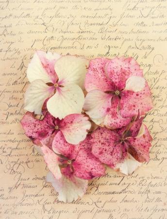 Pink hydrangea flower petals on an antique vintage paper background