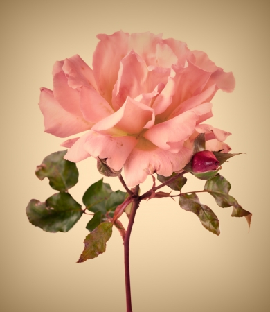 Vintage garden pink rose with soft focus photo