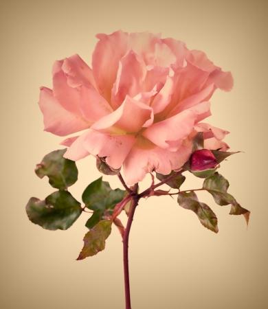 Vintage Garden rosa Rose mit soft focus