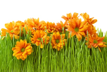 Beautiful chrysanthemums flower in green grass isolated on top photo
