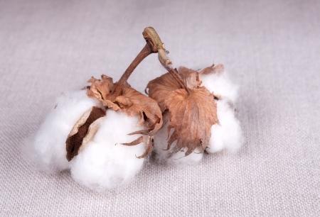planta de algodon: Algod�n planta de la textura Fabrick