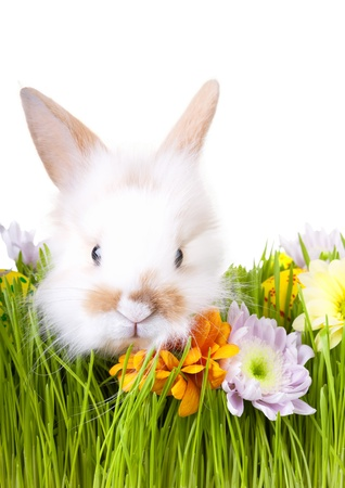 White bunny  in green grass with flowers and easter decorations, isolated on white photo