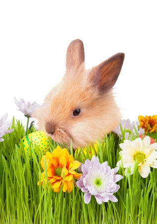 Brown bunny  in green grass with flowers and easter eggs, isolated on white photo