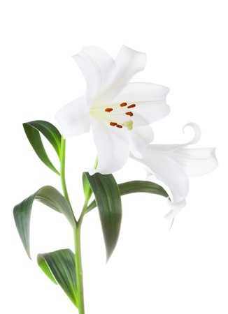 lirio blanco: Flores de lirios blancos aislados en fondo blanco Foto de archivo