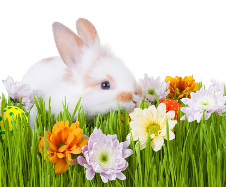 White bunny  in green grass with flowers and easter eggs, isolated on white photo