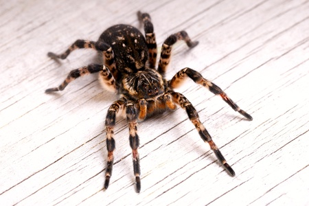 Top view of tarantula spider on wooden surface