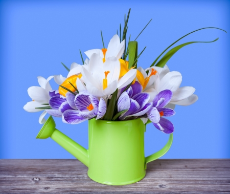 Spring crocus flowers in green watering can on blue background photo