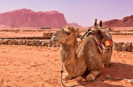 Camel in the desert of Jordan  Wadi Rum