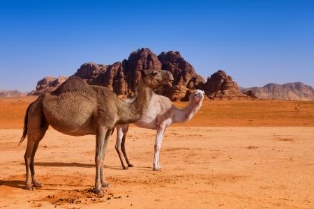 A wild camel family in Wadi Rum desert