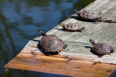 Four turtles taking a sun bath and looking at a pond