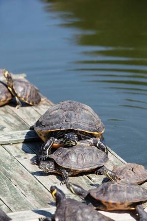 sunbath: Schildpadden nemen een zonnen en een grote schildpad in de camera kijken