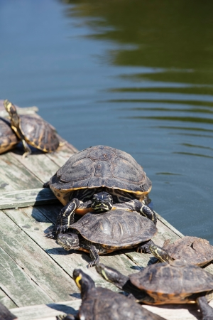 sunbath: Turtles taking a sunbath and one large turtle looking into the camera