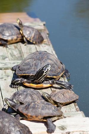 sunbath: Schildpadden nemen van een zonnebad op een houten platform