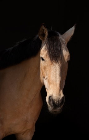 Portrait of a dun horse  on dark background photo