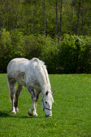 Arabian grey horse in a green field photo