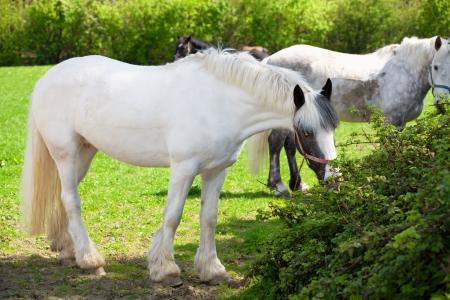 piebald: A beautiful piebald horse outside