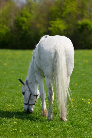 A white horse eating grass, a view from behind