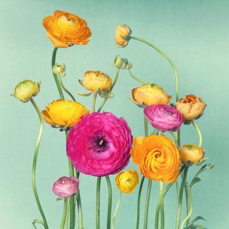 Blumenschmuck von bunten ranunculuson Jahrgang Hintergrund