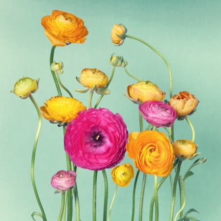 Flower arrangement of colorful ranunculuson vintage background photo