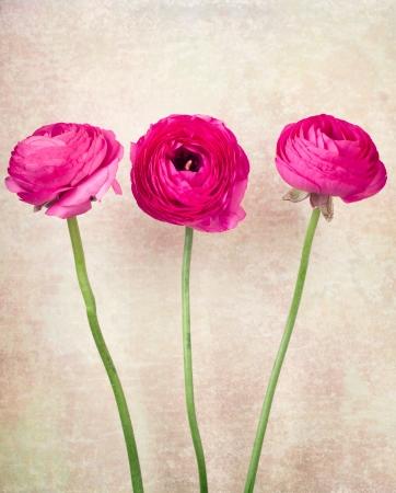 Three single ranunculus flowers on vintage background