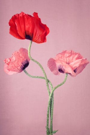 One red and two pink Poppy flowers on a pink background photo