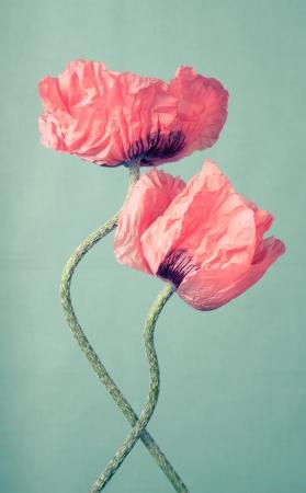 Two pink poppy flowers on a green vintage background Standard-Bild