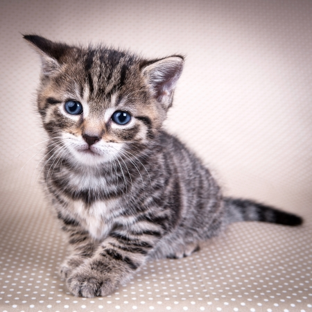 Little cute  kitten with blue eyes looking at you  Stock Photo