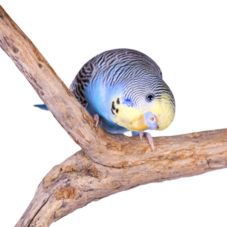 curiously: A blue budgie looking curiously at the camera, isolated on white