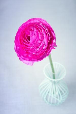 buttercup persian: Rosa persiano ranuncolo fiore in un vaso su sfondo blu