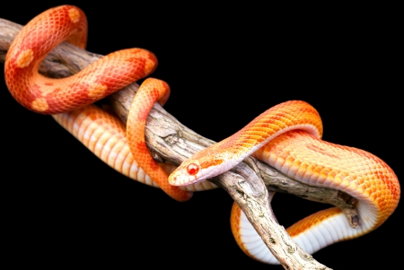 Corn snake wrapped around an old branch isolated on black photo