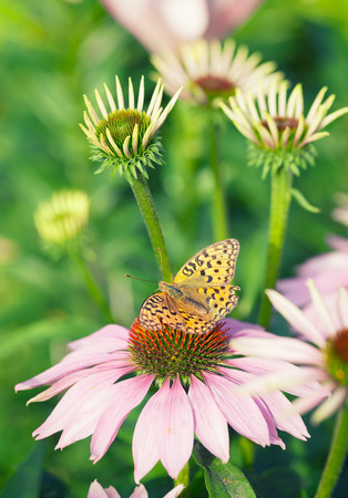 Butterfly sitting on pink echinacea  flower in the rays of the sun photo